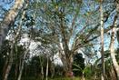 FOR SALE PERMACULTURE, ORGANIC FARM, PAJONAL, PENONOME, COCLE, PANAMA, FINCA PERMACULTURA EN VENTA.