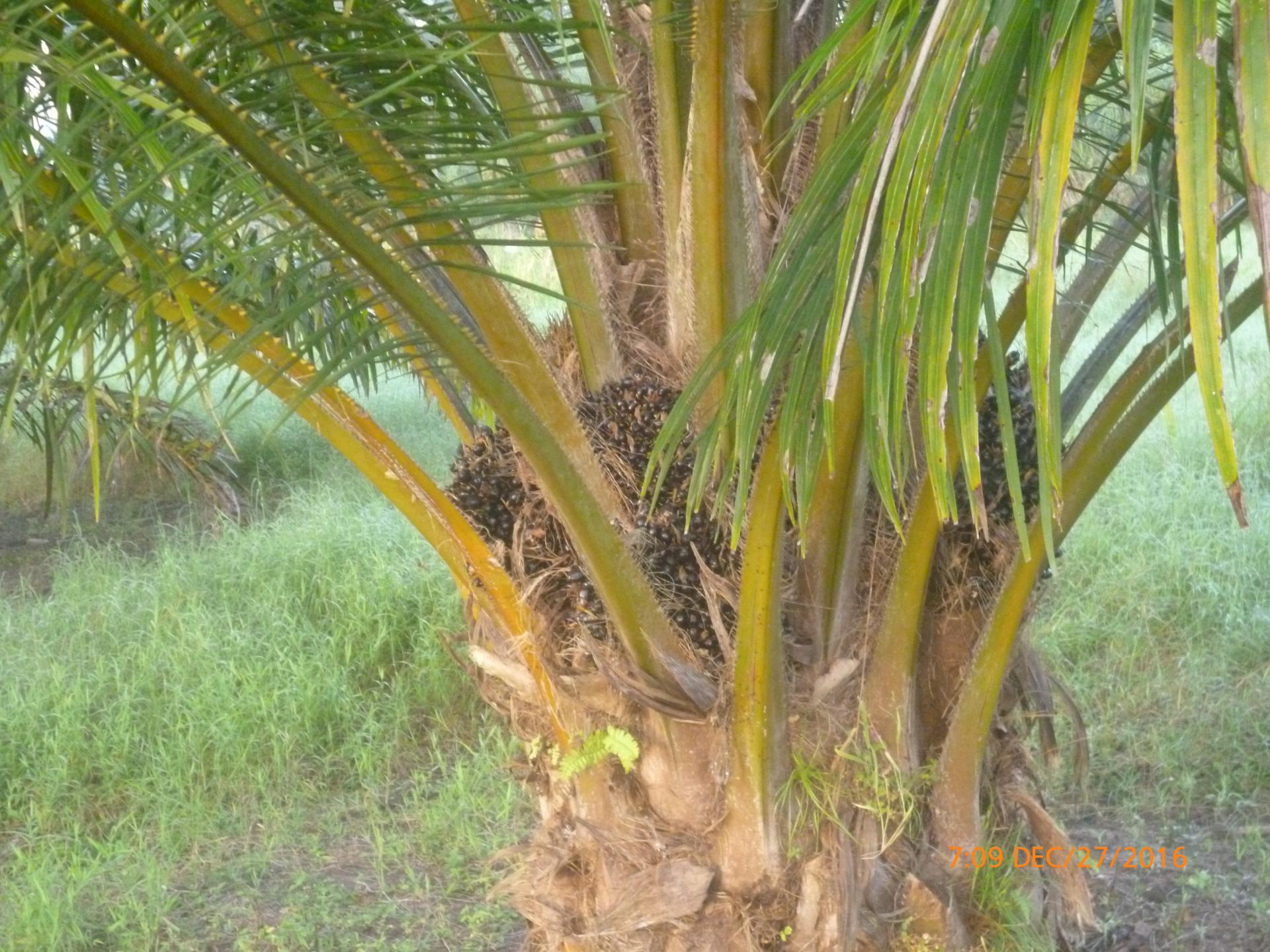 CHIRIQUI, BARU, PALM OIL FARM IN SAN BARTOLO.