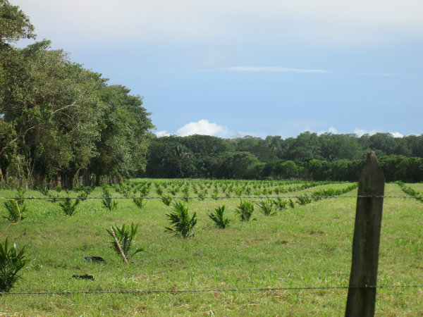 PALM OIL FARM FOR SALE, CHIRIQUI, PANAMA