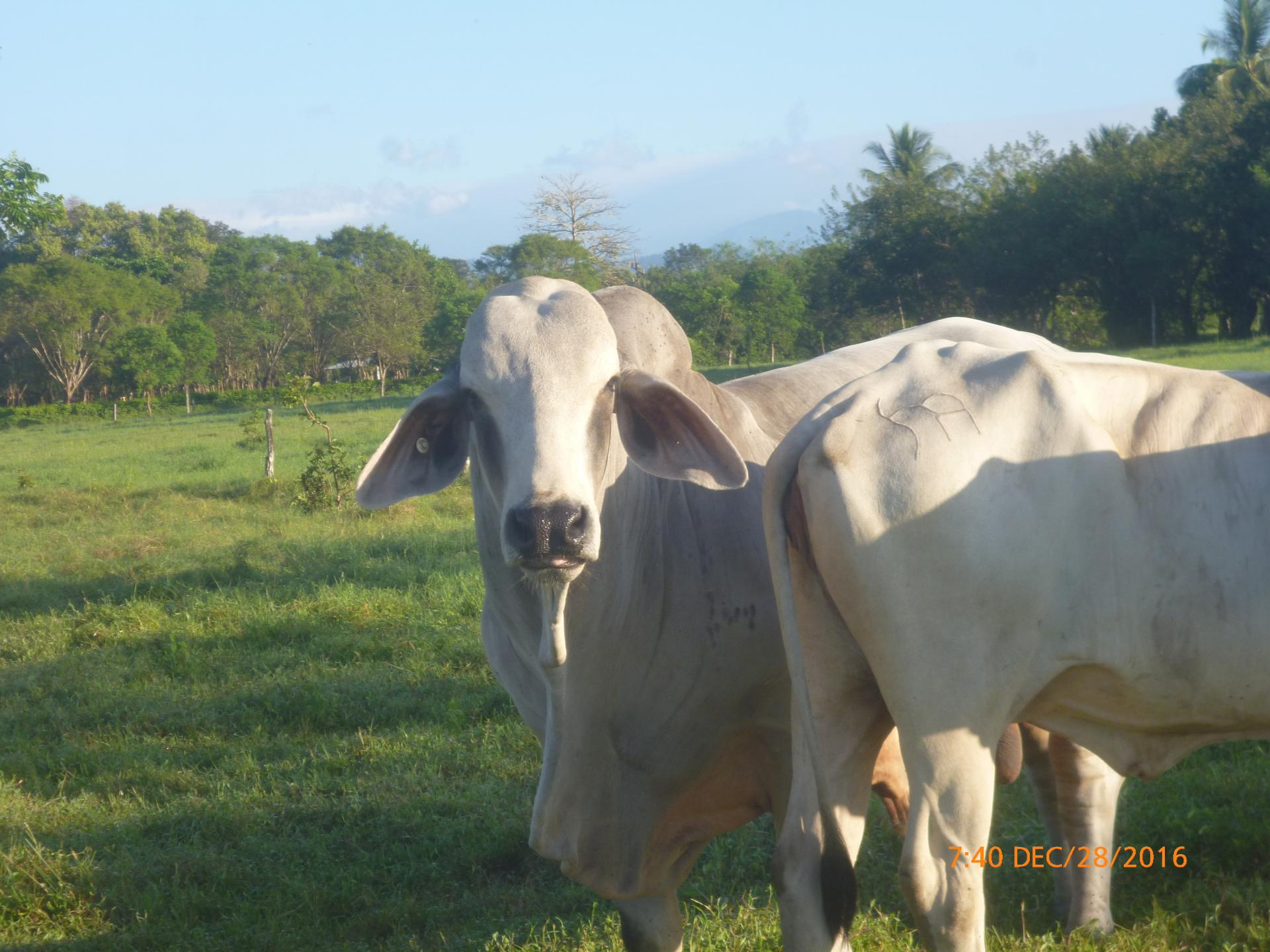 CHIRIQUI BUGABA TURN KEY OPERATION FARM FOR SALE